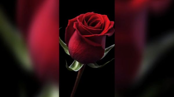 Valentine's Week Rose Day